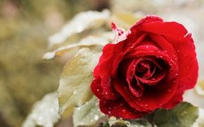 Wallpaper drops, rose, Bud