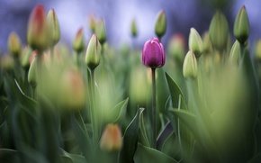 Wallpaper Tulip, Bud, tulips, photo, photographer, Greg Stevenson
