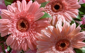 Picture flowers, bouquet, nature, flower, gentle, beautiful, pink, gerbera
