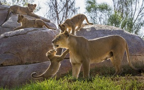 Picture motherhood, lions, the cubs, kittens, lioness, cubs, stones