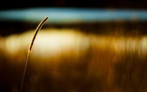 Picture wheat, field, macro, background, Wallpaper, ear, rye, blur, wallpaper, ears, widescreen, background, macro, spike, bokeh, …