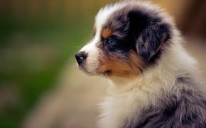 Picture portrait, dog, puppy, Australian shepherd, Aussie