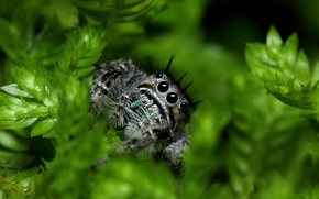 Picture spider, eyes, leaves, paws, vegetation, Jumping Spider, Salticidae, flycatcher spiders