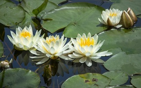 Picture leaves, water lilies, Nymphaeum, water Lily