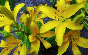 Picture macro, flowers, yellow lilies