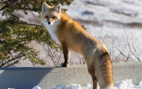 Picture winter, look, Fox, red