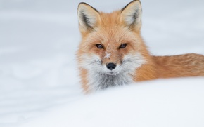 Picture winter, look, face, snow, Fox, red