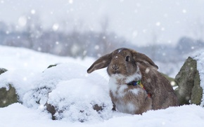 Wallpaper rabbit, snow, winter