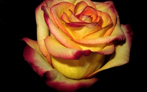 Picture background, dark, rose, Yellow, red, edge