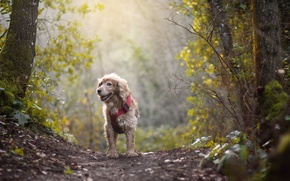 Picture forest, the sun, the way, dog