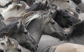 Picture horses, horse, muzzle, the herd, Wild horses