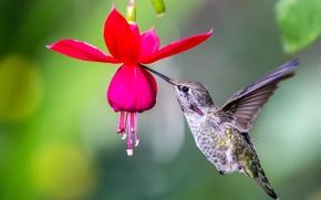 Picture flower, macro, bird, Hummingbird, fuchsia