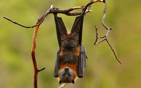 Picture branches, background, wings, paws, mammal, the Siberian flying Fox, bats