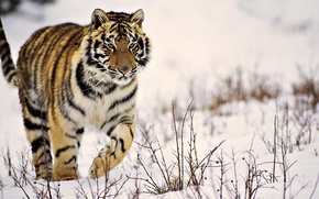 Picture winter, snow, tiger, striped, is