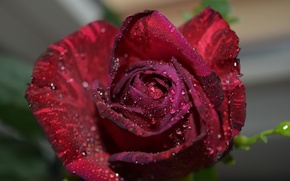 Picture drops, rose, Burgundy