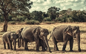 Picture elephants, family, Sri Lanka, Minneriya national Park