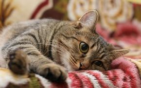 Picture cat, cat, striped