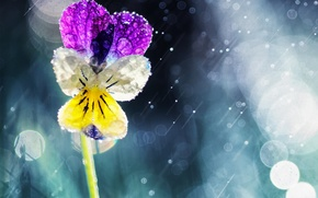 Picture flower, the sun, drops, rain, Pansy, bokeh, viola