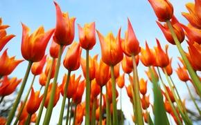 Picture the sky, petals, stem, tulips