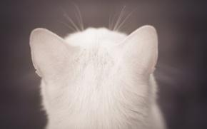 Wallpaper white, cat, wool