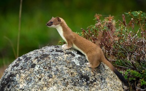 Picture marten, Far East, Wallpapers by Alexey Gnezdilov