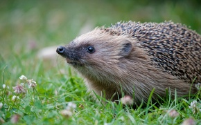 Picture grass, macro, nature, hedgehog