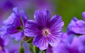 Picture flowers, purple, forest, geranium, Geranium sylvaticum, cranesbill, forest geranium