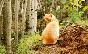 Picture autumn, forest, Fox, predator, Cat, male, hunting, hunter