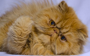 Picture cat, look, red, muzzle, foot, red cat, Persian cat