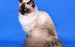 Wallpaper cat, Siberian cat, color-point, Neva masquerade
