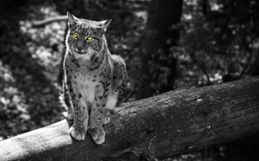 Picture forest, cat, trees, grey, animal, ears, yellow eyes, Lynx, The Lynx, the cat family