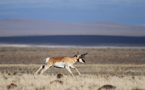 Picture field, wildlife, pronghorn