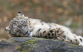 Picture cat, stay, stone, sleep, sleeping, IRBIS, snow leopard, ©Tambako The Jaguar