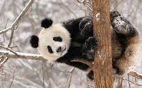Picture winter, snow, Panda, bear