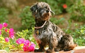 Picture flowers, dog, collar, bougainvillea