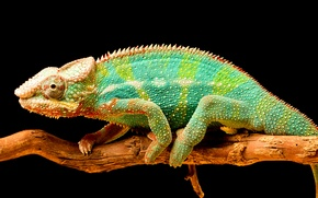 Picture chameleon, color, branch, tail, reptile