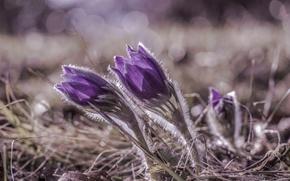 Picture macro, flowers, glare, focus, petals, purple, lilac, Sleep-grass