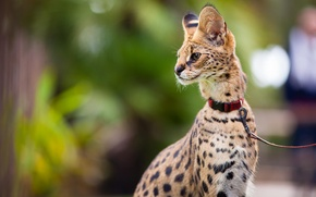 Picture look, leash, Serval