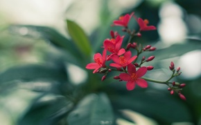 Picture greens, flower, leaves, red, branch, buds, inflorescence
