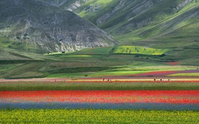Picture field, flowers, mountains, nature, Maki, meadow, Italy