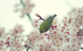 Picture flowers, spring, Bird, the cherry blossoms