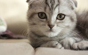 Picture cat, cat, grey, muzzle, lying