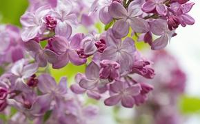 Wallpaper macro, spring, lilac