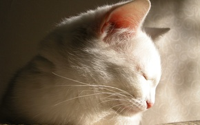 Picture white, cat, the beauty, falls asleep