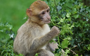 Picture leaves, branches, animal, Bush, monkey