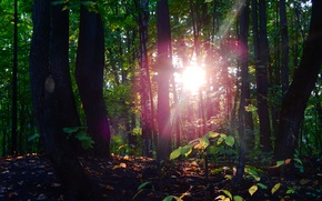 Picture forest, leaves, the sun, nature