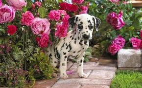 Wallpaper Dalmatian, puppy, flowers