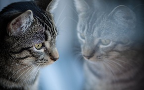 Picture cat, reflection, grey, striped