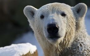 Picture look, polar bear, polar bear