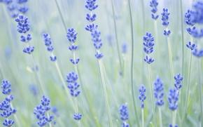 Picture macro, flowers, nature, stems, focus, blur, lavender